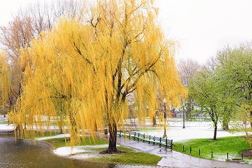 Yellow tree in the Garden