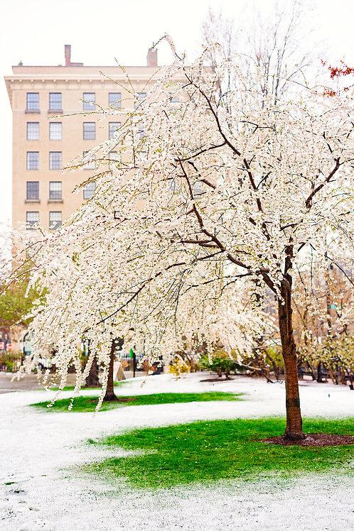 Public Garden - Snow & Bloom 2