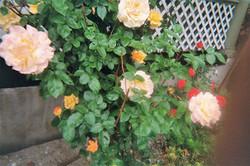 The Rose Bush!