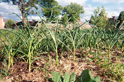 Onions at the Orchard