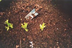 Beginning Lettuce