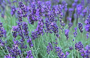lavendar-pano.jpg