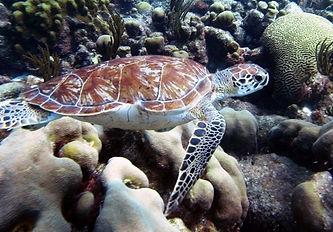 Bonaire Turtle.jpg