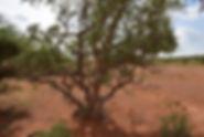 murjeen boswellia neglecta dakkara boswe