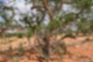 mirafur rivae ogaden weihrauch frankince