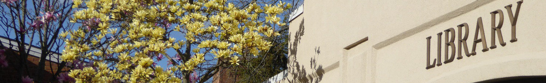 Golden Magnolia Tree in bloom at the entrane of the Tenafy Public Library