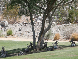 Bighorn Sheep Cooling off at Silver Rock CC