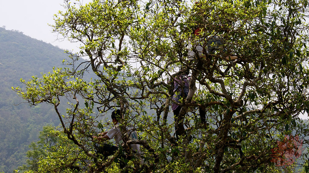 Gu Shu being harvested off of an old tea tree