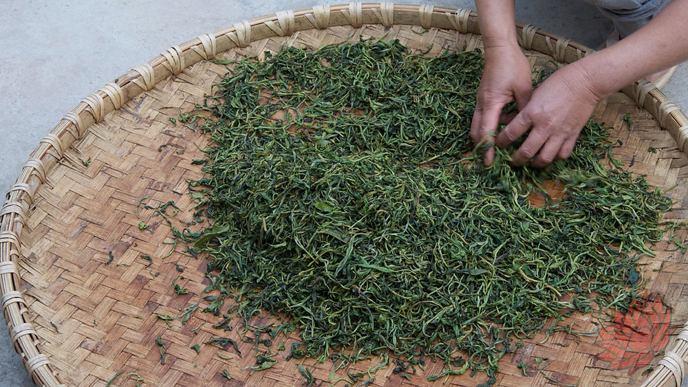 Puer tea being withered after harvesting