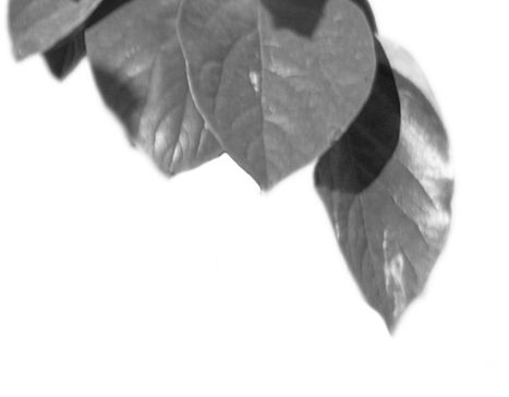 A black-and-white graphic of a leaf.