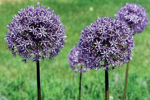 Purple allium gruop