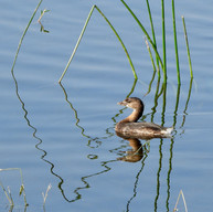 """Pied-billed Grebe"""