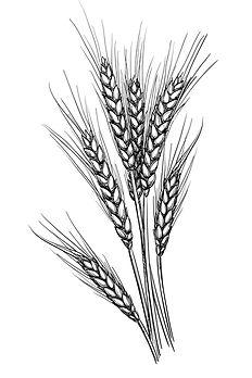 Trigo natural utilizado para hacer la masa madre del pan