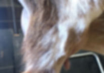 Miss Clara Udder Side View.jpg