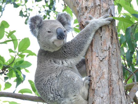 New Queensland Government Koala Strategy