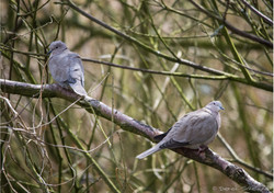 Collared Doves.jpg
