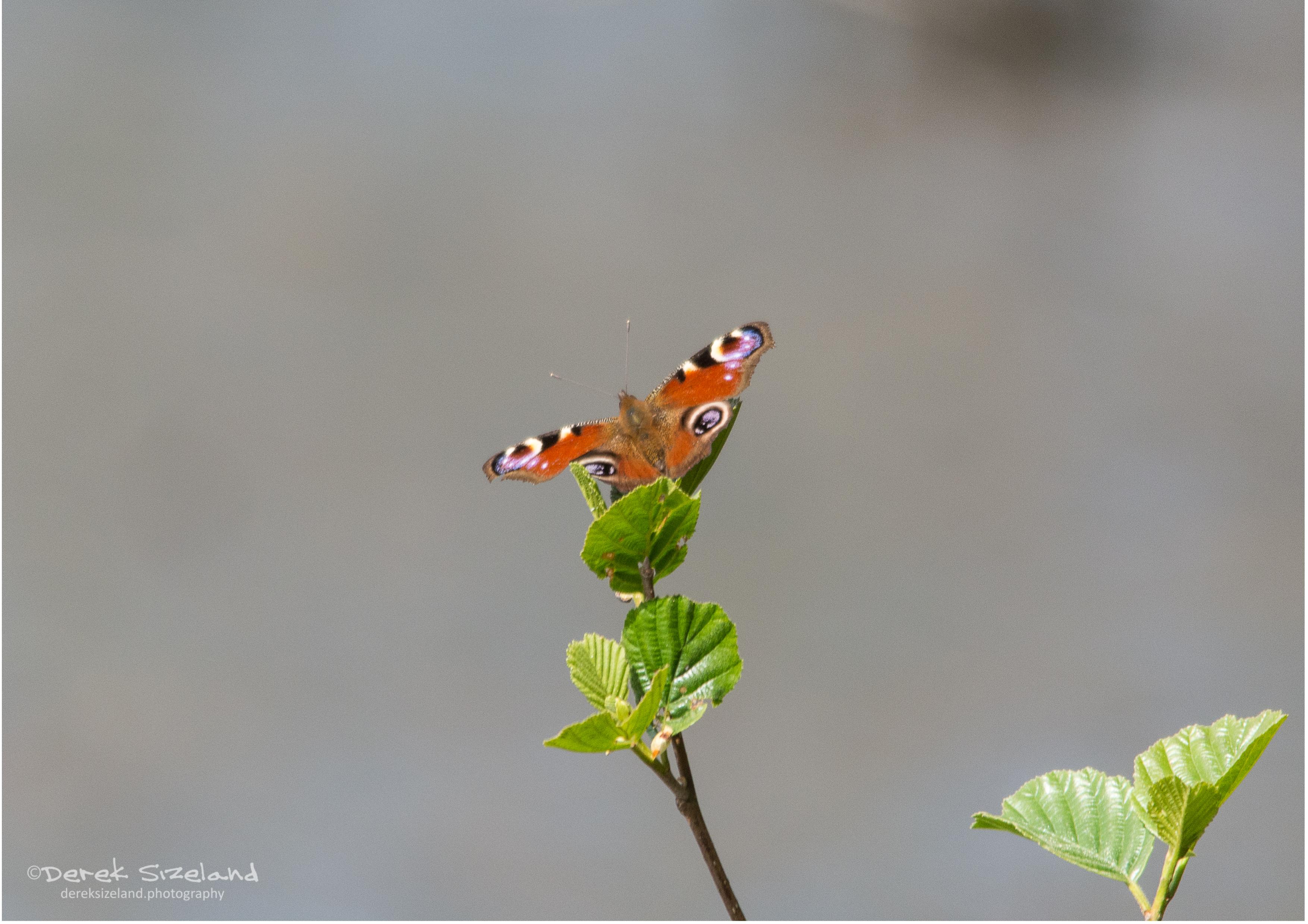 Peacock Butterfly2.jpg