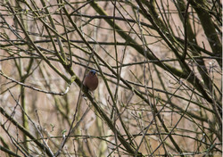 Female Bullfinch.jpg
