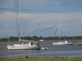PM Hastings River Westport Pelicans.JPG