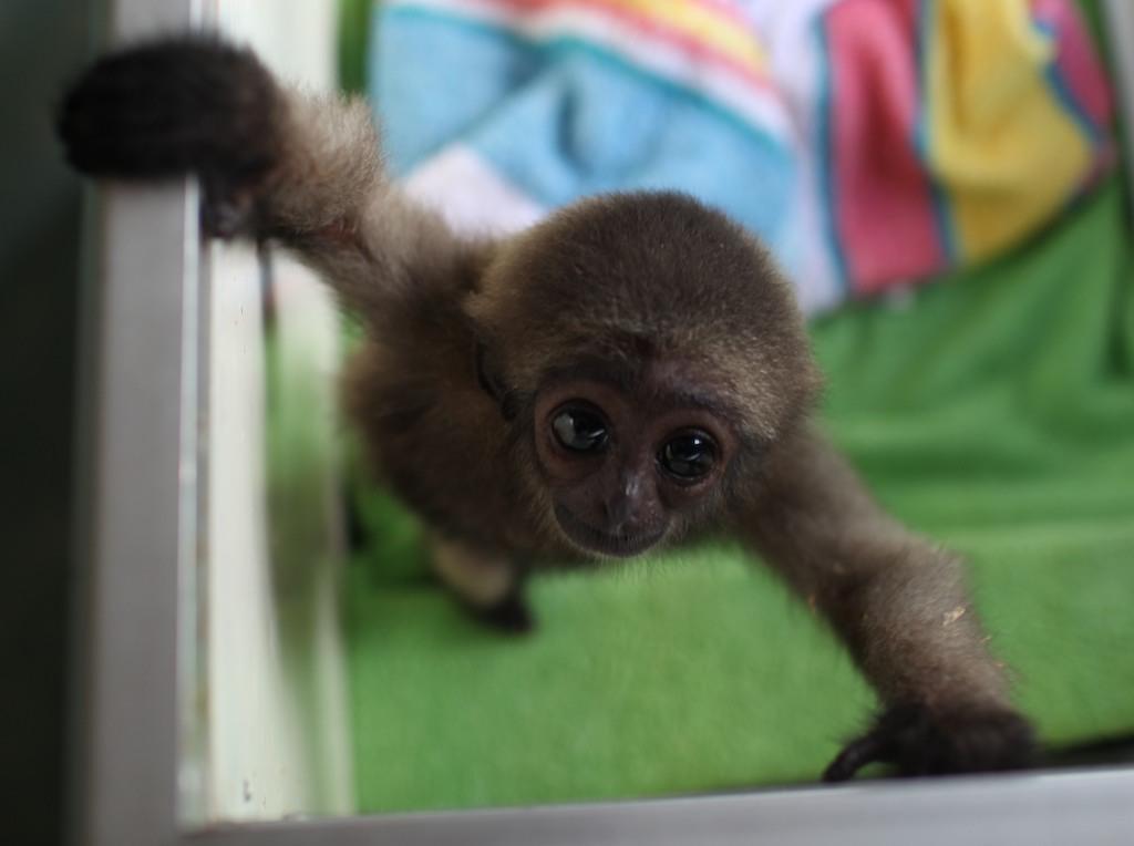 Bolo - Baby Gibbon