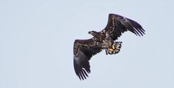Aigle Pêcheur - Fisher Eagle