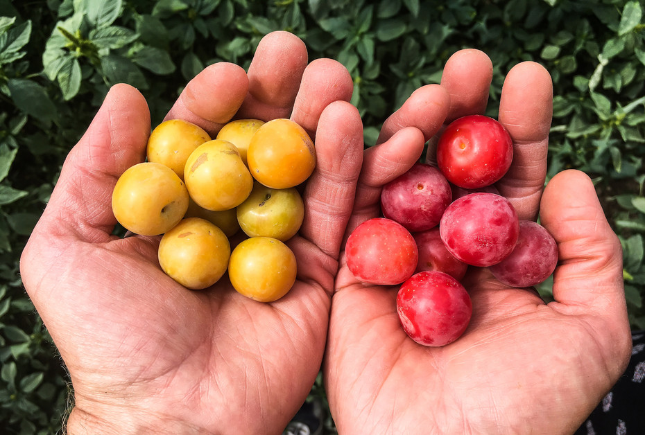 Why We're Called Wild Plum