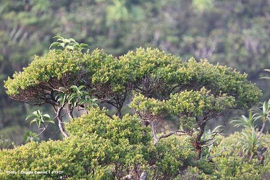 mt. redondo bonsai.jpg