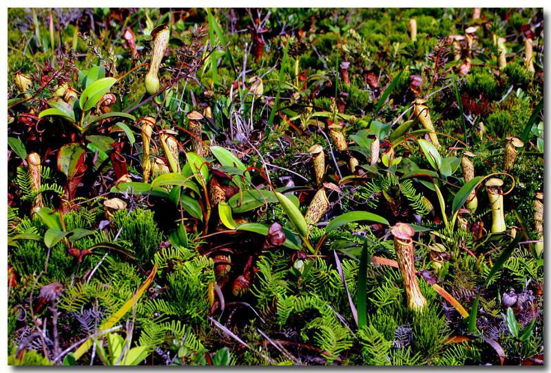 Pitcher Plant Haven Mt. Redondo, Loreto.