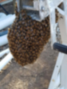 Honeybee Swarm. Swarm. Swarm Season. Beekeeping. Beekeeper. Argyle Apiary.