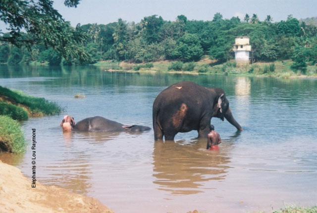 Elephant-(c)-Lou-Raymond