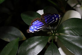 Blueberry Butterfly