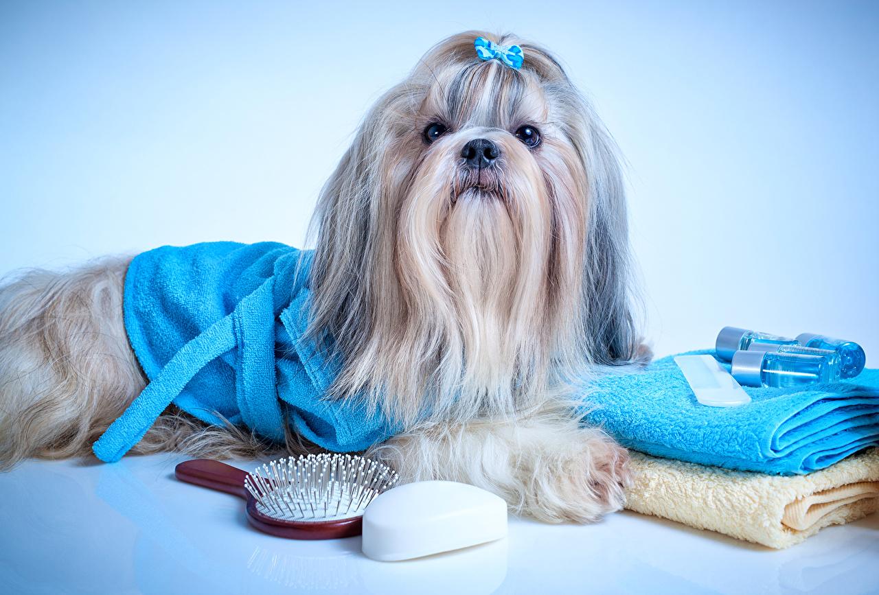 Dogs_Towel_Shih_Tzu_511427