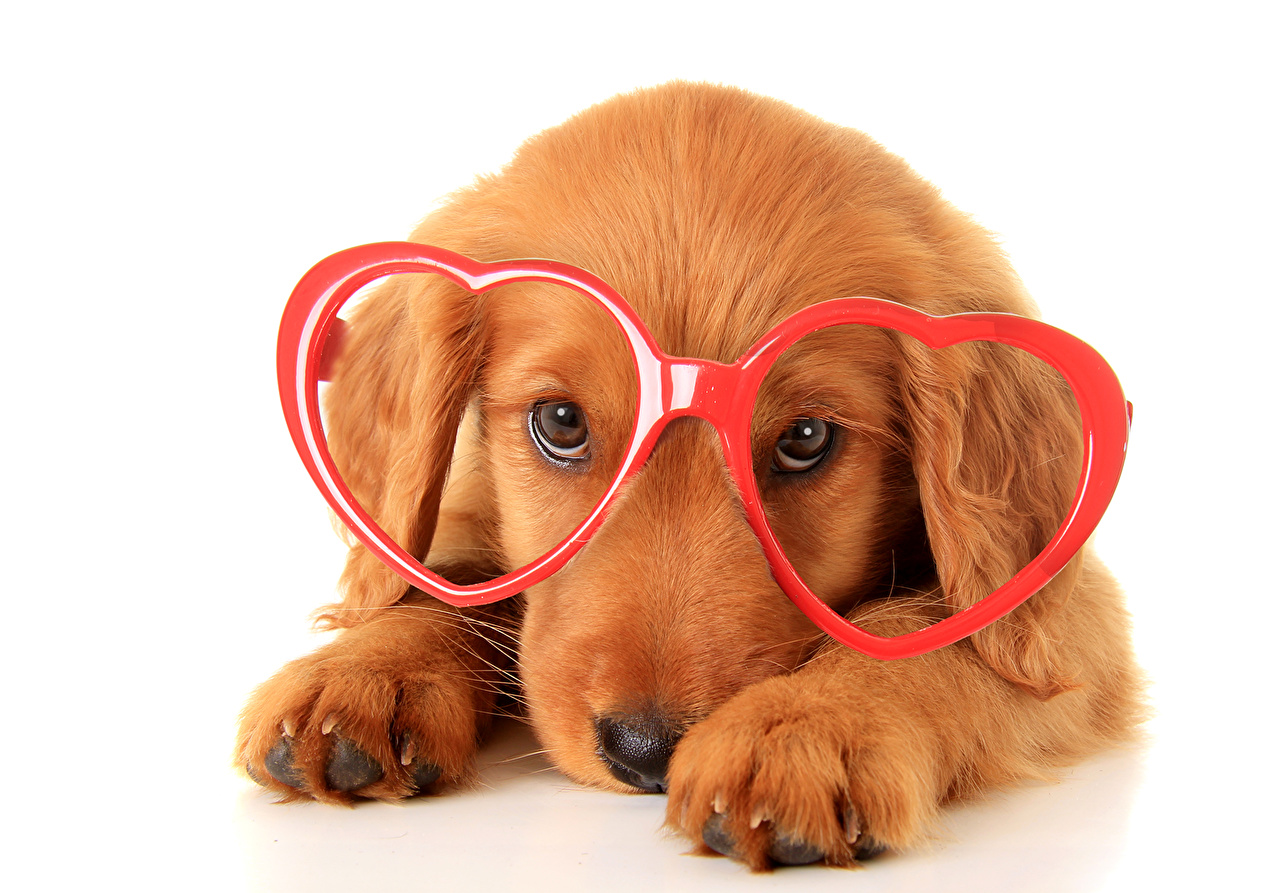 Dogs_Retriever_Glasses_470812