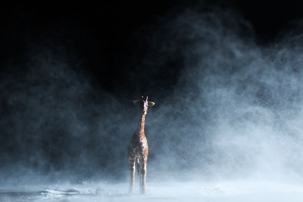 Copy of Giraffe in a snowstorm - Will Dr