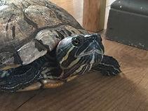 Helen turtle.jpg