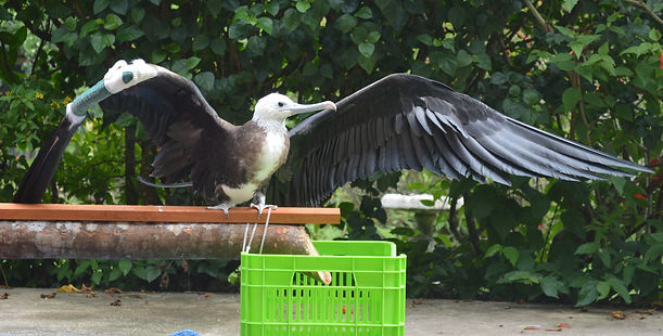 Frigate bird recovering at Belize Bird Rescue