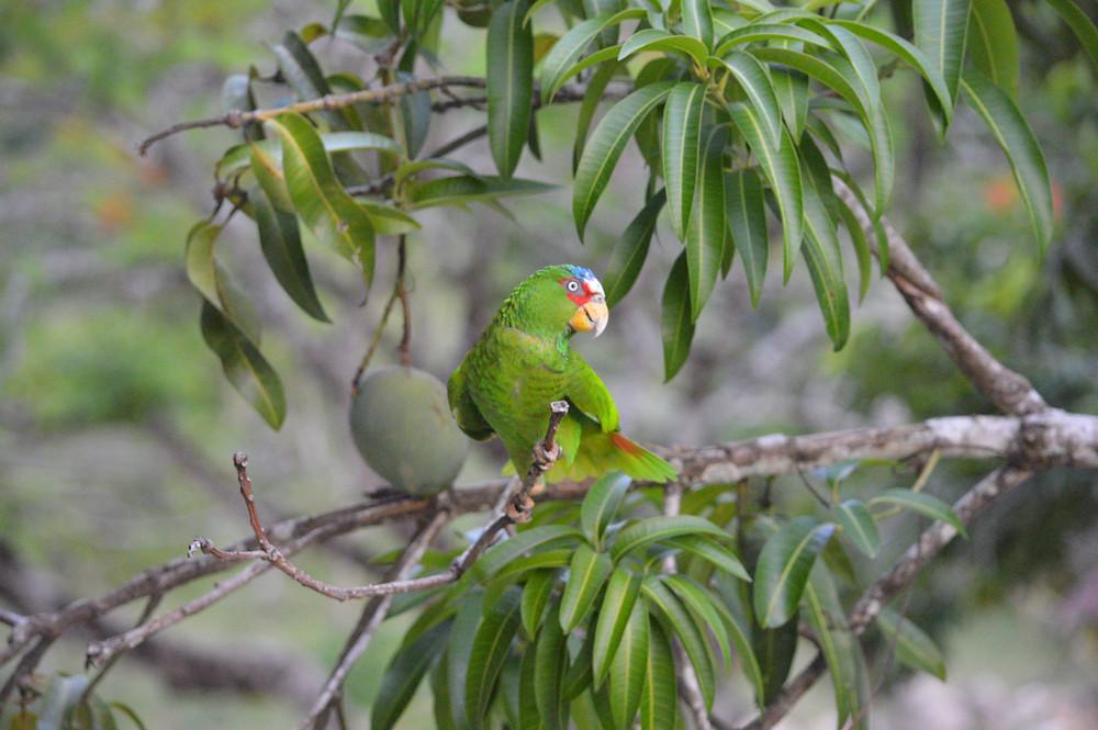 Released Aracari