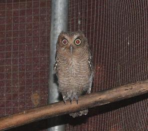 Juvenile screech owl
