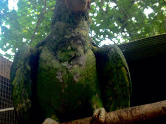 Candy the Red-Lored Amazon