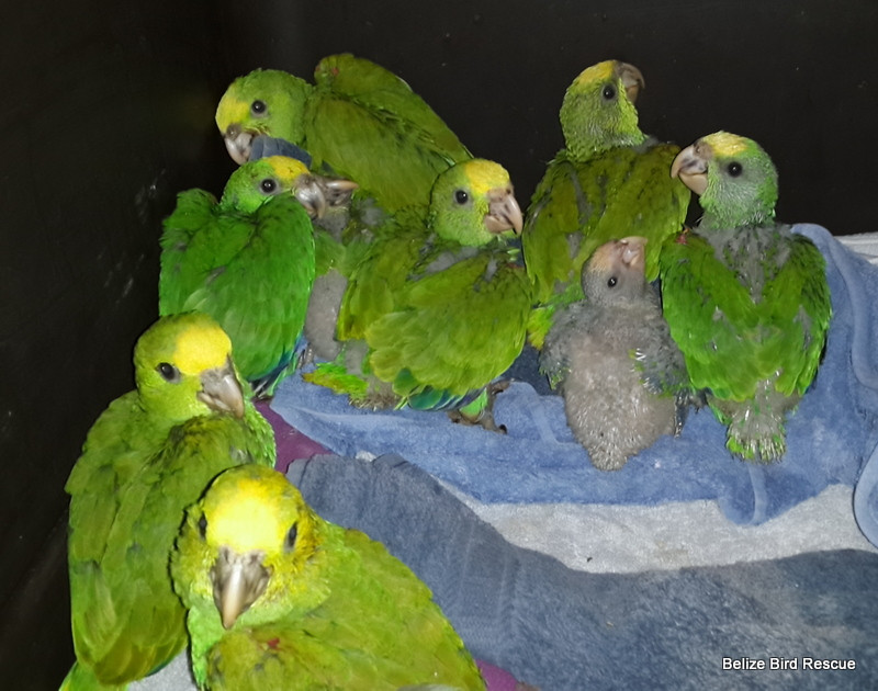 Yellowhead babies on their first night at BBR
