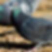 urban pigeon information leaflet