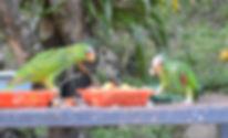 White front parrots, feeder, Belize