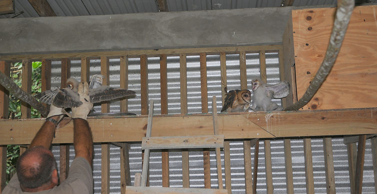 Barn owl rehab enclosure