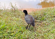 American coot released at Belize Bird Rescue