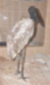 Jabiru stork recovering at Belize Bird Rescue
