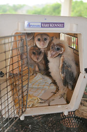 young barn owls at Belize Bird Rescue