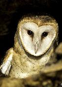 Barn Owl 3.jpg