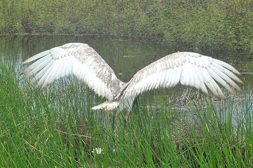 Jabiru stork released back into Belize's wetlands