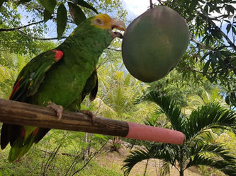 Parrots and Mangoes