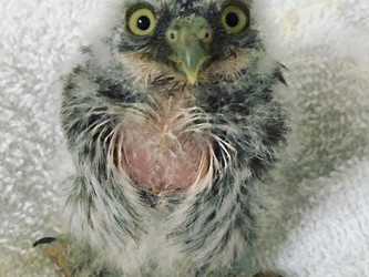 Yoda the Pygmy Owl